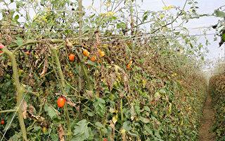台气温将急冻  农改场吁预防番茄黑骨病