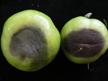 強烈大陸冷氣團南下,高雄區農業改良場籲請農友防治俗稱黑骨病的番茄晚疫病發生。圖為染病的番茄果實。(高雄區農改場提供)(中央社)