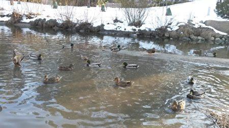 春天还没到来,可是野鸭已顾不得那么多了,纷纷出动,戏水嬉闹,似乎在欢迎游客的光临。(伊铃/大纪元)