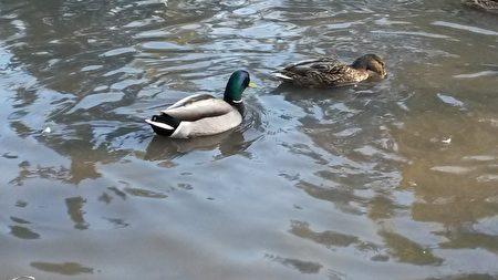 水面上的野鸭成双成对。(伊铃/大纪元)