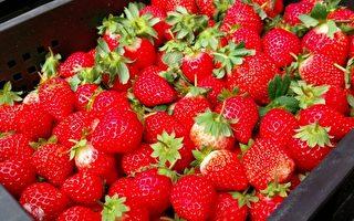 浪漫台三线 大湖草莓马拉松热闹登场