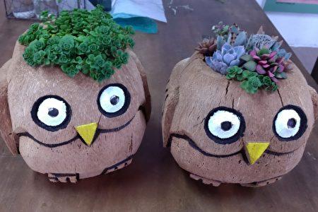 搞创意,用椰子外壳做成的猫头鹰造型,多肉植物也可以这样种。(曾维中提供)