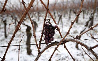 天氣惡劣 全球葡萄酒產量創20年新低