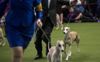 威斯敏斯特狗展开幕 北非猎犬嫌纽约挤不适应