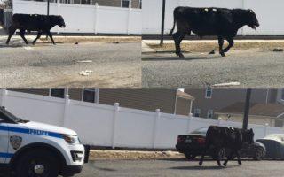 公牛逃脫屠宰場 與市警上演「狂野追逐」