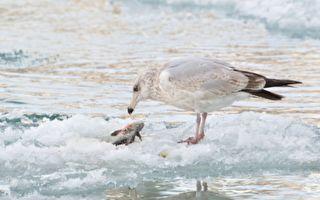 罕见奇景!狗鱼咬着鲈鱼同遭冰封