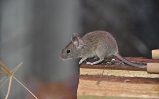 波士頓地區老鼠多 蟑螂少