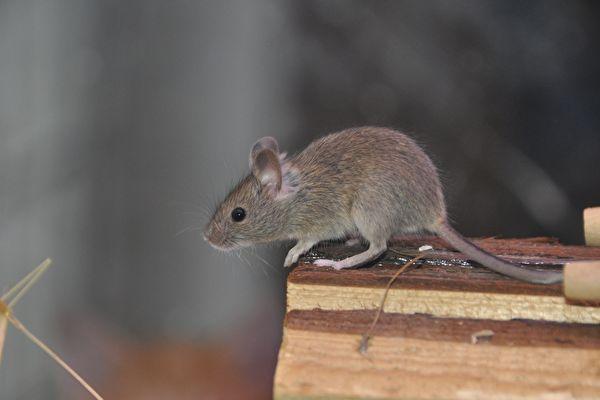 公鼠移植產崽實驗挨轟 中共軍醫撤論文