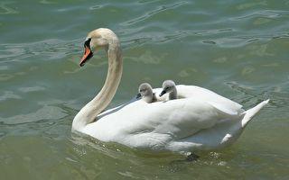 天鵝寶寶鑽進媽媽翅膀裡 搭便船遊湖