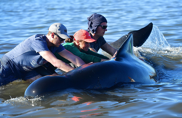 支援者正設法搶救倖存的鯨魚。(MARTY MELVILLE/AFP/Getty Images)