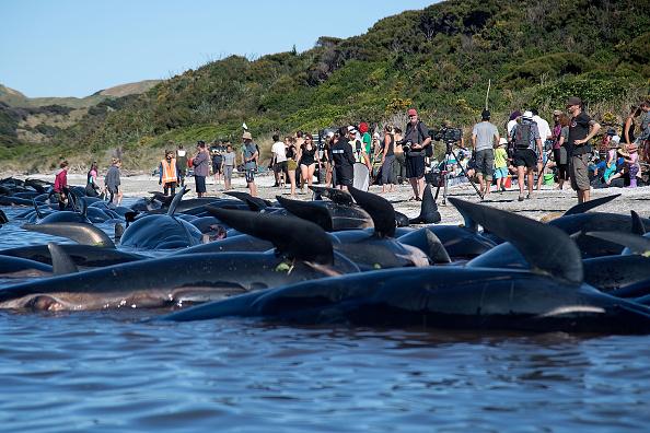 Dead Pilot whales sit on the high tide line 大批志願者感到海灘,設法搶救倖存的鯨魚。(MARTY MELVILLE/AFP/Getty Images)