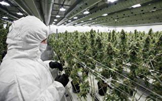 药用大麻治疗澳洲青少年精神疾病 世界首次