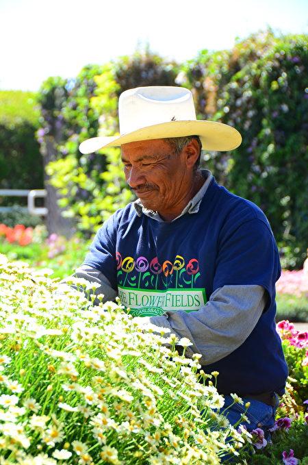 闻名遐迩的卡尔斯堡花田Carlsbad Flower Fields每年的3到5月就会变成一片花海,图为花田工人在采摘鲜花。(李旭生/大纪元)