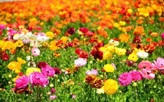 聞名遐邇的卡爾斯堡花田Carlsbad Flower Fields每年的3到5月就會變成一片花海,種植的主要毛茛屬各色鮮花。
