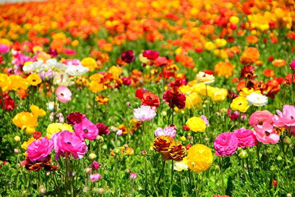 春天游花海-卡尔斯堡花田Carlsbad Flower Fields