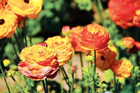 闻名遐迩的卡尔斯堡花田Carlsbad Flower Fields每年的3到5月就会变成一片花海