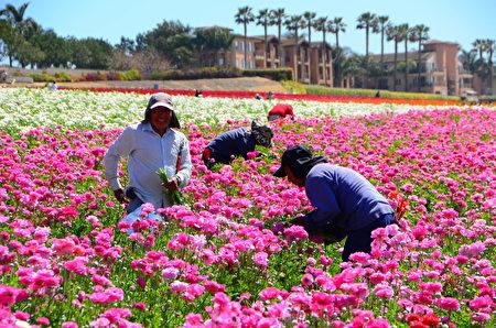闻名遐迩的卡尔斯堡花田Carlsbad Flower Fields每年的3到5月就会变成一片花海,图为花田工人在采摘鲜花。