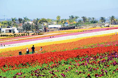 闻名遐迩的卡尔斯堡花田Carlsbad Flower Fields每年的3到5月就会变成一片花海,种植的主要毛茛属各色鲜花。(李旭生/大纪元)