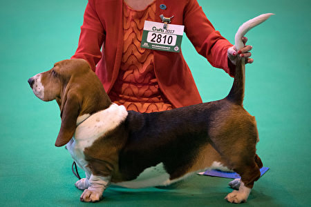 BIRMINGHAM, ENGLAND - MARCH 09: Bassett Hounds are judged in a show ring on the first day of Crufts Dog Show at the NEC Arena on March 09, 2017 in Birmingham, England. First held in 1891, Crufts is said to be the largest show of its kind in the world, the annual four-day event, features thousands of dogs, with competitors travelling from countries across the globe to take part and vie for the coveted title of 'Best in Show'. (Photo by Matt Cardy/Getty Images)