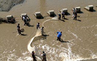 旧金山湾区水坝阻挡洄游路 义工助濒危鱼类回家