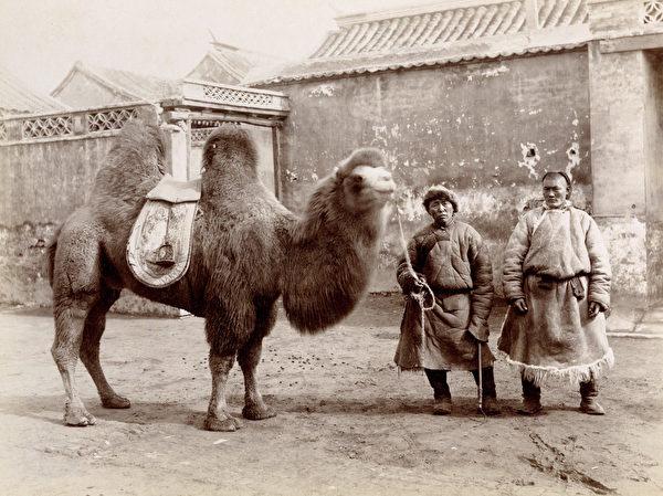 山本讃七郎(Sanshichiro Yamamoto),《北京的雙峰駱駝》,約1890年,銀鹽照片。(Courtesy of the Stephan Loewentheil Historical Photography of China Collection)