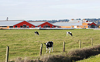 Donia Farms家庭农场以草饲牛 不变的初衷