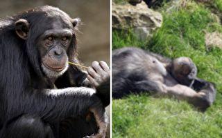 依依不舍 为死去同伴剔牙 猩猩也理解死亡?