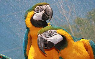 """鹦鹉笑声把快乐""""传染""""给同伴 进化论无解"""