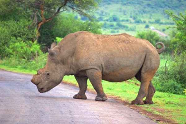 南非野犀牛主動接近攝影師 要求按摩肚子