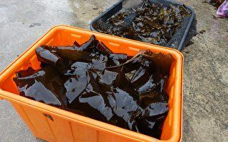 金門海帶大豐收──年產量倍增