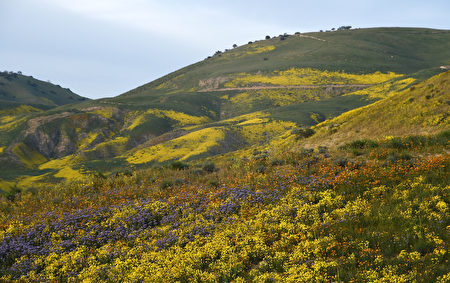 "Yellow, orange and purple flowers cover a hillside in the Carrizo Plain National Monument near Taft, California during a wildflower ""super bloom,"" April 5, 2017. After years of drought an explosion of wildflowers in southern and central California is drawing record crowds to see the rare abundance of color called a ""super bloom."" / AFP PHOTO / Robyn Beck"