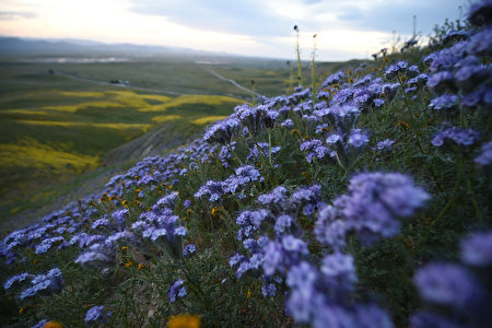 "Purple phacelia and orange checker fiddleneck are seen in the Carrizo Plain National Monument near Taft, California during a wildflower ""super bloom,"" April 5, 2017. After years of drought an explosion of wildflowers in southern and central California is drawing record crowds to see the rare abundance of color called a ""super bloom."" / AFP PHOTO / Robyn Beck"