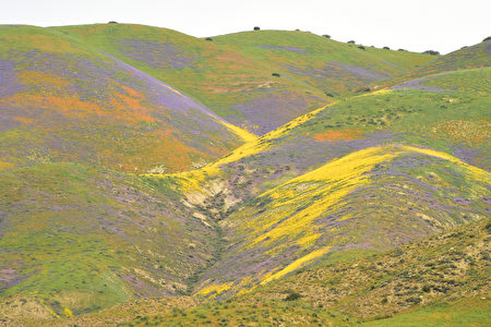 "Flowers bloom at Carrizo Plain National Monument near Taft, California, on April 6, 2017. After years of drought an explosion of wildflowers in southern and central California is drawing record crowds to see the rare abundance of color called a ""super bloom."" / AFP PHOTO / Robyn Beck"