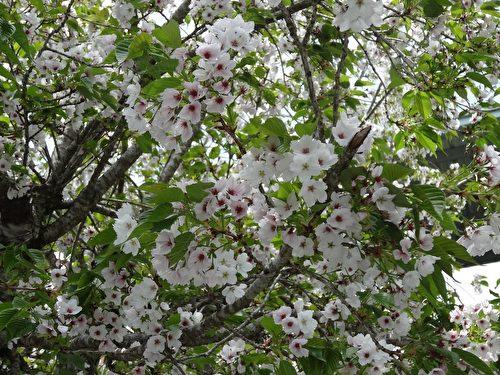 櫻花樹花團錦簇,美麗的花朵綻放整個枝頭。(曾晏均/大紀元)