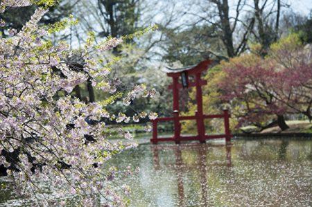 經過了幾場倒春寒,紐約終於迎來了「人間四月天」。春天將要給經歷寒冬的紐約客送上最美的饋贈——櫻花季。