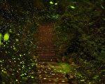 台灣大阿里山區螢火蟲季將自4月7日起展開,林間飛舞的螢光,可媲美天上星光,讓遊客翱遊於螢光星海。(阿里山國家風景區管理處提供)