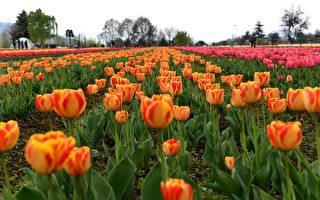 组图:印度郁金香花园 色彩缤纷春意盎然
