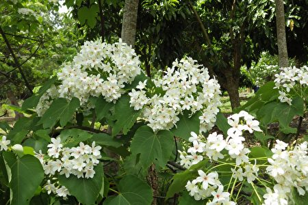 盛开的油桐花花团锦簇。(廖素贞/大纪元)