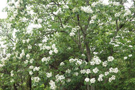 整棵油桐树开满了雪白的桐花!(廖素贞/大纪元)