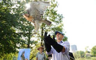 紅尾鷹增加 紐約更原生態?