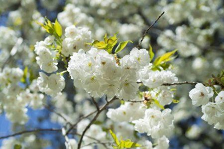 櫻花,又稱山櫻花、青膚櫻,綻放時,滿樹但見粉紅色或白色的串串花蕊,璀璨絢爛,美不勝收。
