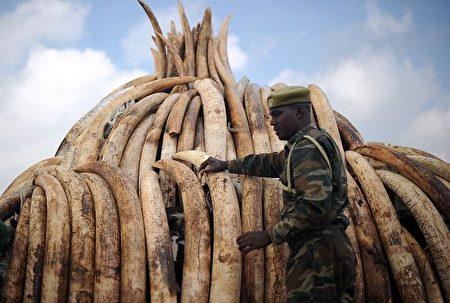 即便在史無前例的反腐運動中,中國對野生動植物製品的需求仍居高不下。圖為非洲截獲的大量的象牙製品,據悉都計劃被運往中國大陸。 (TONY KARUMBA/AFP/Getty Images)