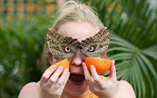 倫敦的自然歷史博物館裡,一名遊客手裡拿著的甜橙把兩隻貓頭鷹蝶吸引過來。 ( DANIEL LEAL-OLIVAS/AFP/Getty Images)