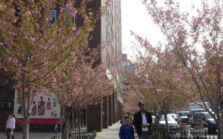 賞櫻花不必遠途勞頓 華埠就有櫻花園