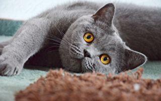 「拜託啦!」貪吃貓咪連連作揖乞討食物