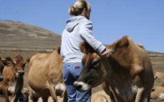 搂抱牛只──超可爱的纾压疗法