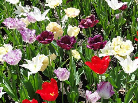 五彩繽紛的名貴鬱金香在概念花園(Idea Garden)裡爭奇鬥妍 (司瑞/大紀元)