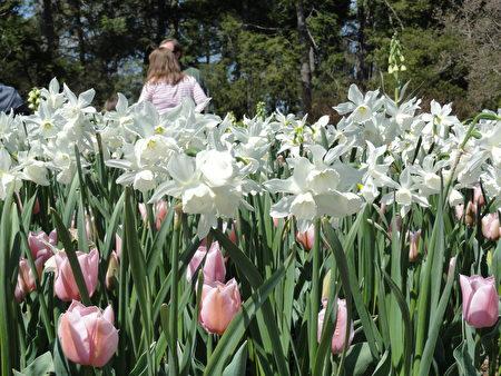 大型白色水仙花叢中藏著粉紅色的鬱金香(司瑞/大紀元)