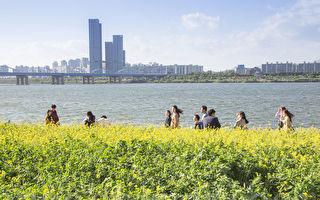 组图:首尔汉江瑞来岛 金黄花海风景如画