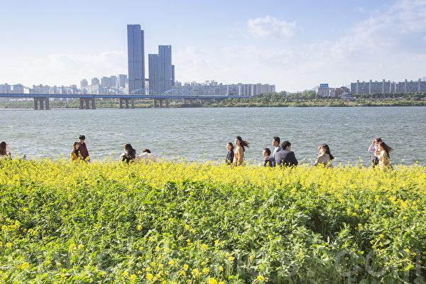 組圖:首爾漢江瑞來島 金黃花海風景如畫